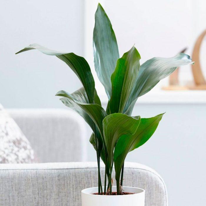 Аспидистра: описание растения, посадка, выращивание и уход в домашних условиях, особенности размножения, фото, видео